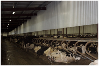 Picture 1. Metal baffles placed in between two rows of freestalls.