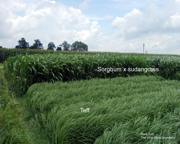 Figure1 . Teff and sorghum x sudangrass grown in research plots.