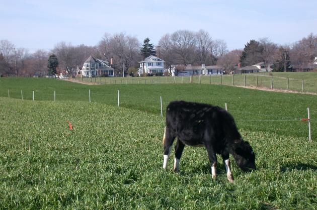 Figure 3. Dairy heifer grazing oat plus winter rye in early December, which was planted after corn silage harvest in early September in central Ohio. In the background is annual ryegrass planted the same day.